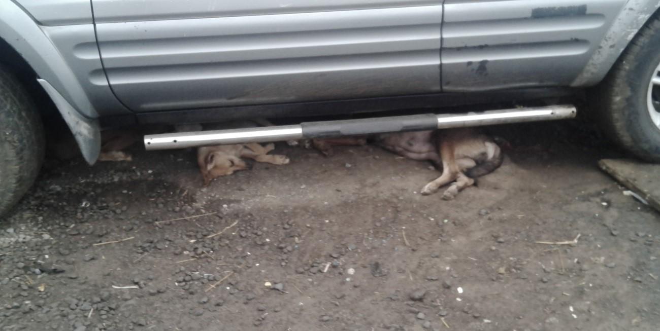 Perra embarazada a punto de parir cachorros y otros dos más debajo un coche, Malabo.