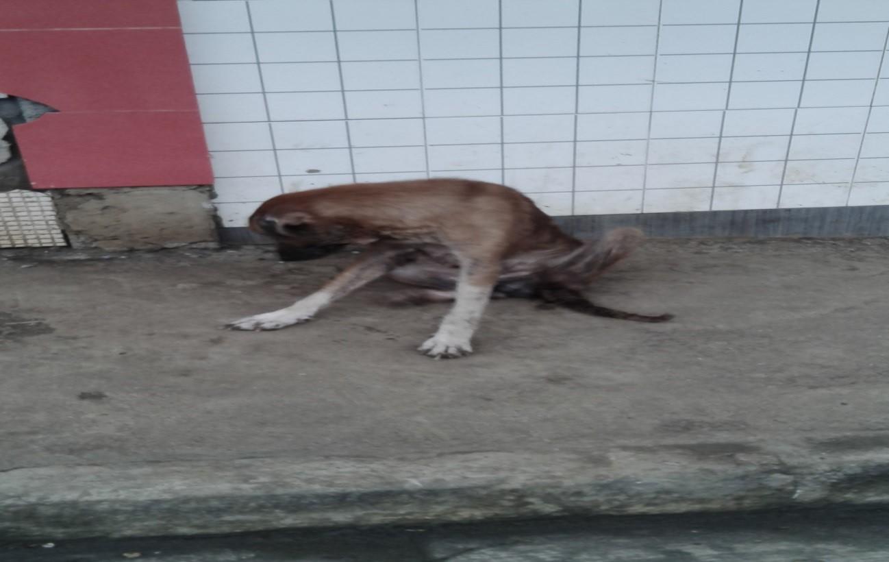 Perro sañoso y desnutrido abandonado en la calle, Malabo.